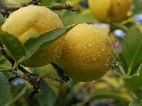 Limoni verdelli sicilia
