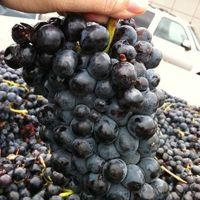 Vino Barbera Piemonte